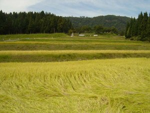 一枚隣の田んぼでは、稲が倒れる「倒伏」が始まった。今年は稲の生育が良かったために背丈が高くなり、早く倒れてしまったという。