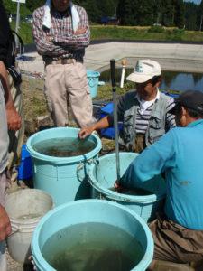 この大きな容器には水ごと汲み上げられた生き物たちが入っていました。写真はブラックバスとそれ以外の生き物に分けているところです。