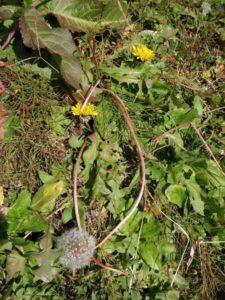 田んぼのあぜの西洋タンポポ。まだ花も咲いていました。