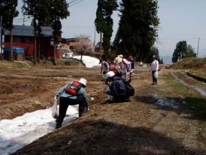 雪が残っている田んぼのあぜで、出たばかりのフキノトウを発見!