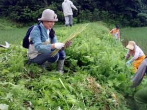 あぜには様々な種類の植物が生えていました。「いいフキがあったから」と、地元の人は、参加者にフキを取ってあげていました。