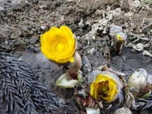 集落センターのすぐ近くの家の庭では、福寿草が花を咲かせていました。重たい雪がなくなり、やっとつぼみを持ち上げ始めたようでした。