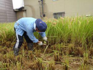 一見問題がないような場所でも、稲株の根本には杉の葉や小枝などのごみが20センチ近くまで詰まっています。