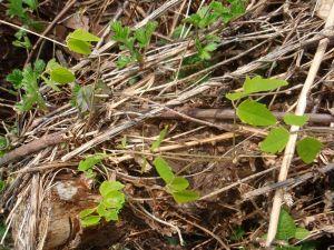 ミツバアケビの新芽。この辺りでは「キノメ」と呼ばれます。