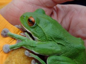 集落の中で見つかった大きなモリアオガエル。産卵直後でお腹がへこんでいる。