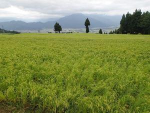 緑一色だった田んぼが、一気に明るい色に変わってきました。