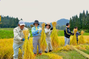 刈った稲を束ねる作業を習う。これが一番難しい。