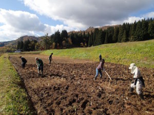 朝のまぶしい光の中で、伝統的な三本ぐわを使って、来年に向けた田起こし作業をしました。