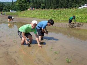 はだしで田んぼの土を感じながら、一つひとつ手で植えていきます。
