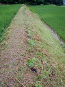 あぜにズラリと植えられた大豆の苗。根元の黒いものは「くんたん(燻炭)」で、モミガラを炭にしたもの。保水力や通気性にすぐれ、栄養分もあるということです。