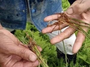 根元が茶色いままのイロハ田んぼの苗(右)と、元気な隣の田んぼの苗(左)。