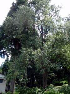 樹齢100年を超えるという大きなナシの木。