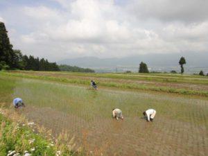 腰をかがめての手作業での草取り。栃窪の人からは「ほーら、稲が喜んでるぞ」との声がかかっていました。