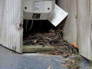 そっと巣に近づき写真を撮ったところ、まだ目も開いていない小さなヒナが4匹くらいいるようでした。