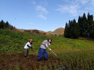 無農薬田んぼで、田起こしに挑戦する女性たち。昔ながらの3本ぐわで、稲の株を一つづつひっくり返していきます。