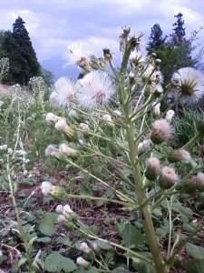 花が咲いた後さらに茎が伸びて、花だった部分には種のついた綿毛が開いています(5月9日撮影)。