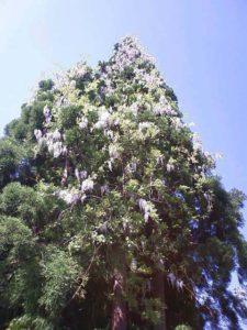 """杉の木に寄生するフジ。さながら""""フジのツリー""""といった状態。"""