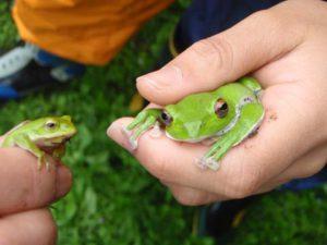 右がモリアオガエル、左はシュレーゲルアオガエルです。あなたはどちらがお好みですか?