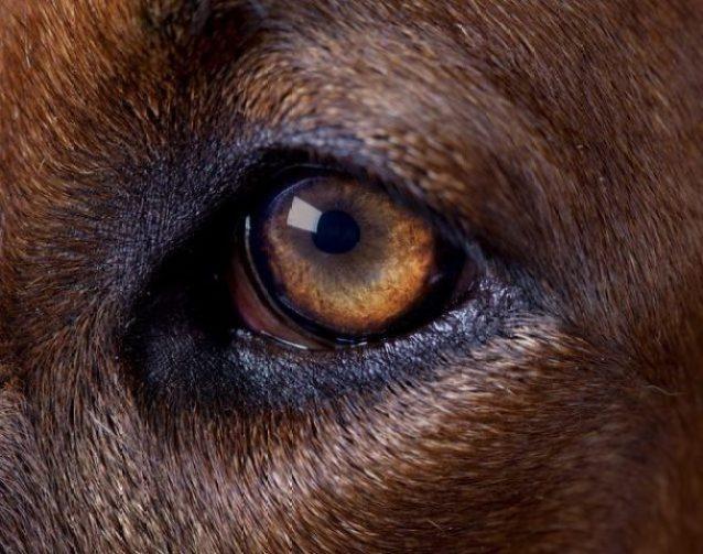 perro, vista, vision