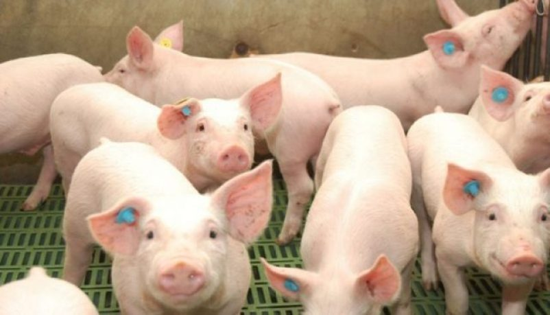 bienestar, cerdo, carne, supermercados, animal, maltrato