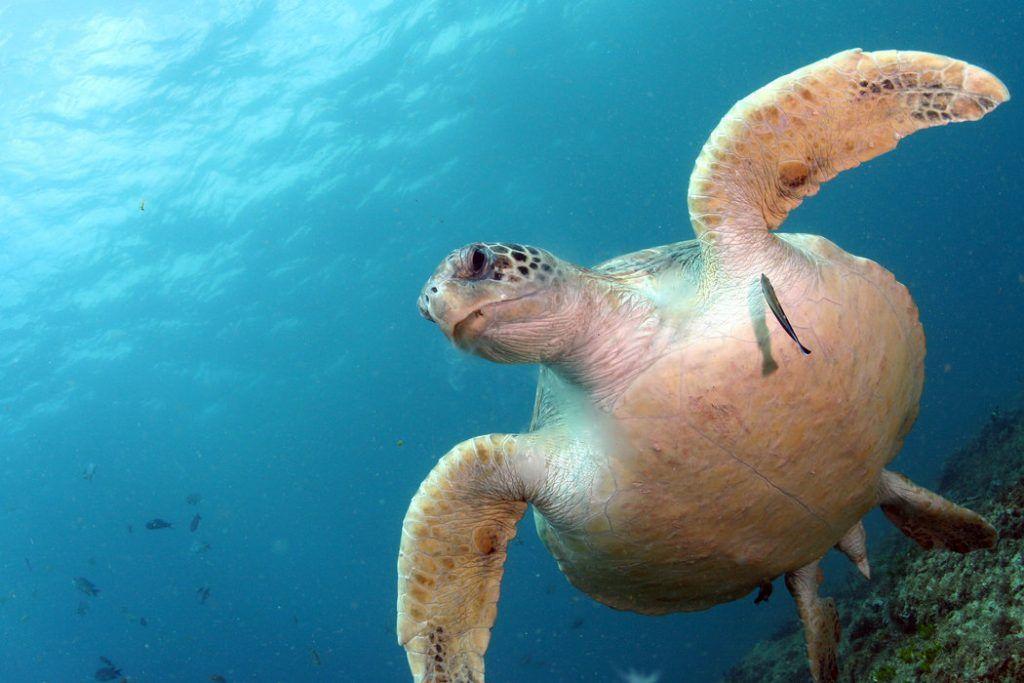 microplásticos, mares, océanos, tortugas, contaminación, basura