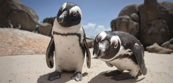 pingüinos, habla, lenguaje, comunicación, animales