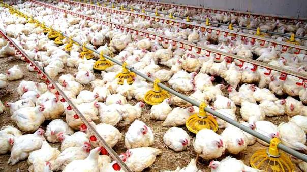 granja, pollos, animales, bienestar animal, multinacionales