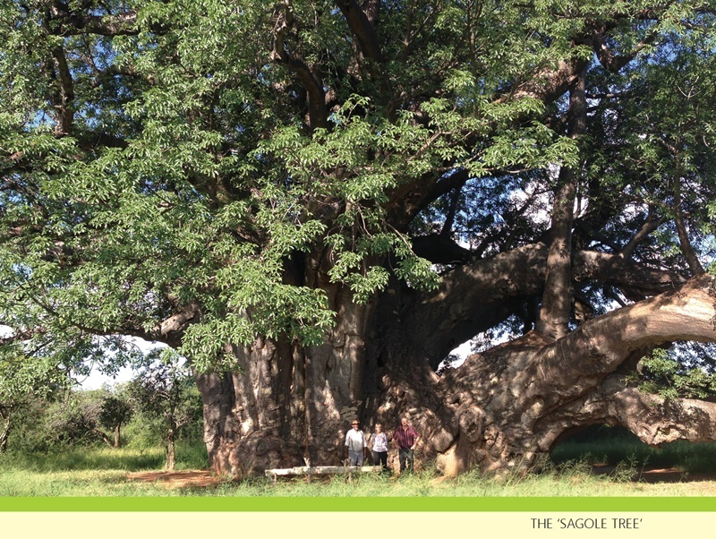 The Sagole Tree