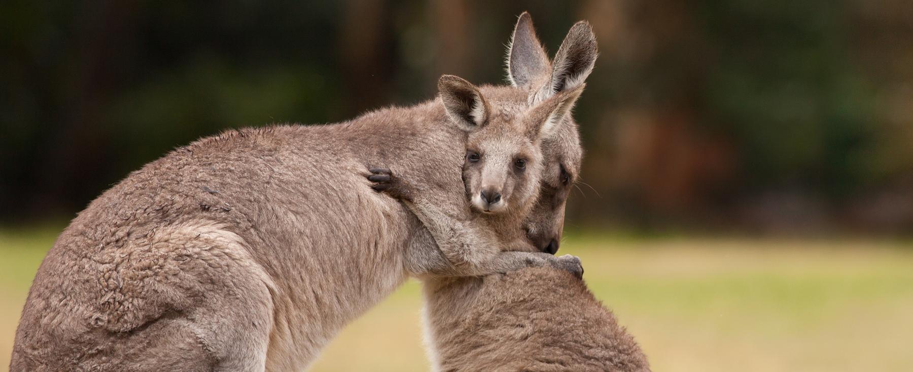 Boycotting kangaroo fur will change nothing  Ecorazzi