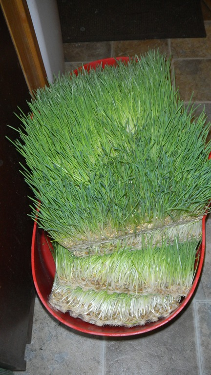 Barley Fodder Sprouting In 8 Days  Eco Snippets