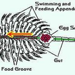 Rotifer Diagram Labeled 120 240 Wiring Artemia