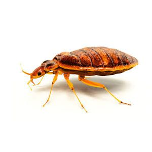 Pest Control - Bed Bugs