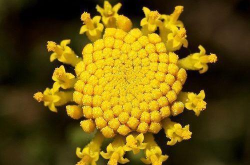 abrótano hembra ( Santolina chamaecyparissus L.)