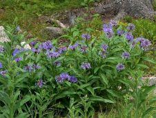 Aciano (Centaura cyanus)