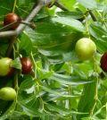 Azufaifo con fruto