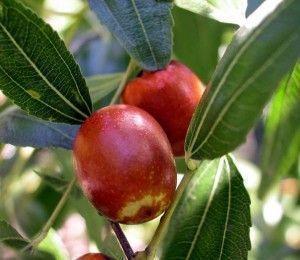 Azufaifo con fruta