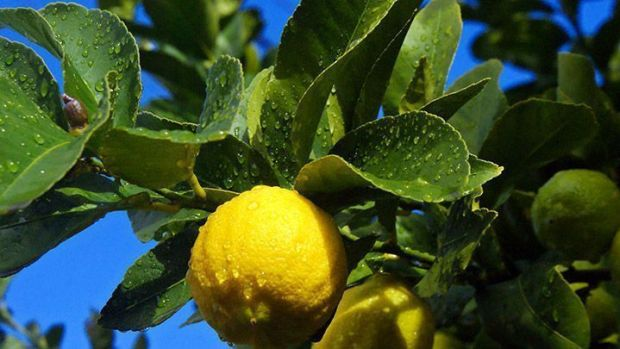 Limones en el árbol