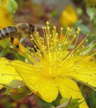 Hierba San Juan abeja