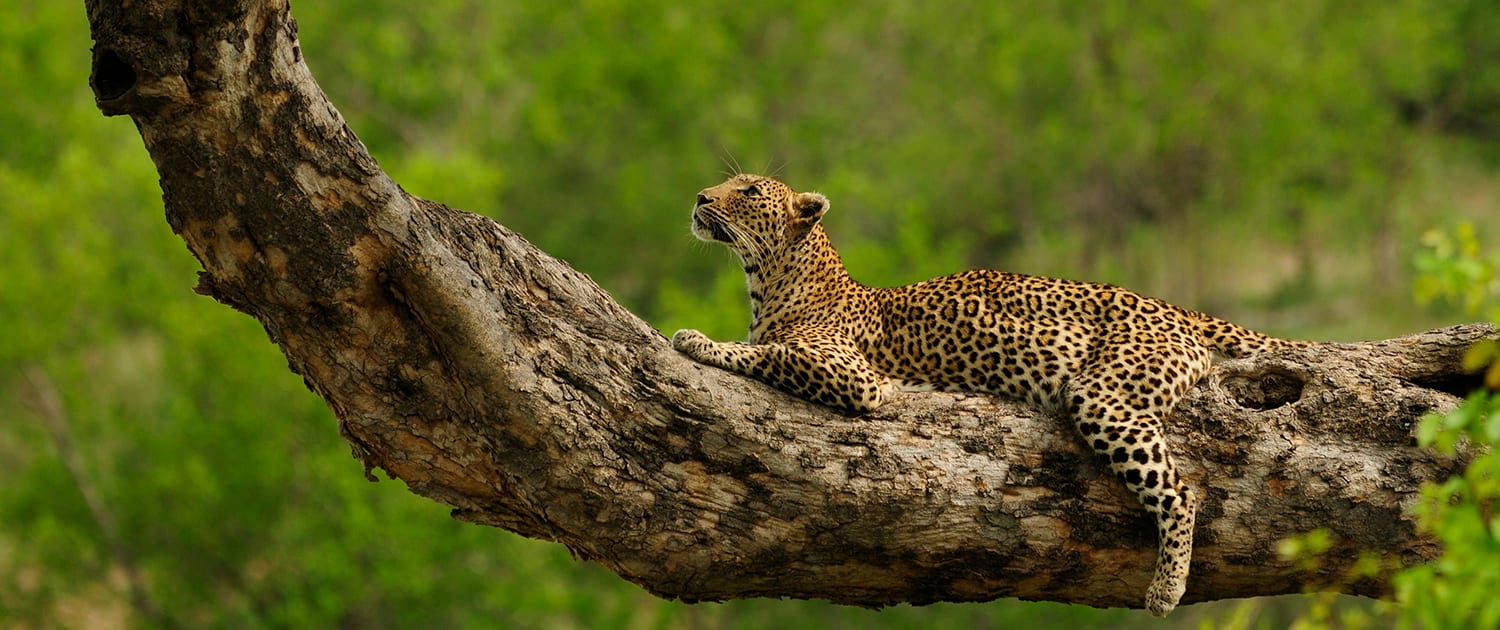 EcoTraining Safari Guide Training Leopard Tree