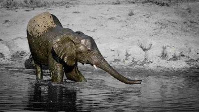 Elephants-Drinking-6-small