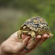Leopard-Tortoise-1