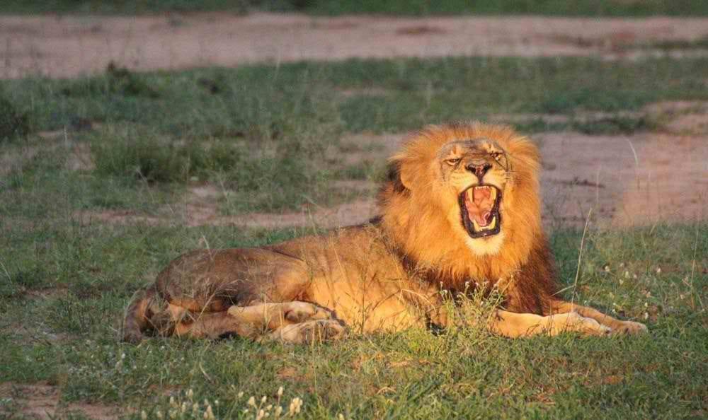 Lion-roaring-display