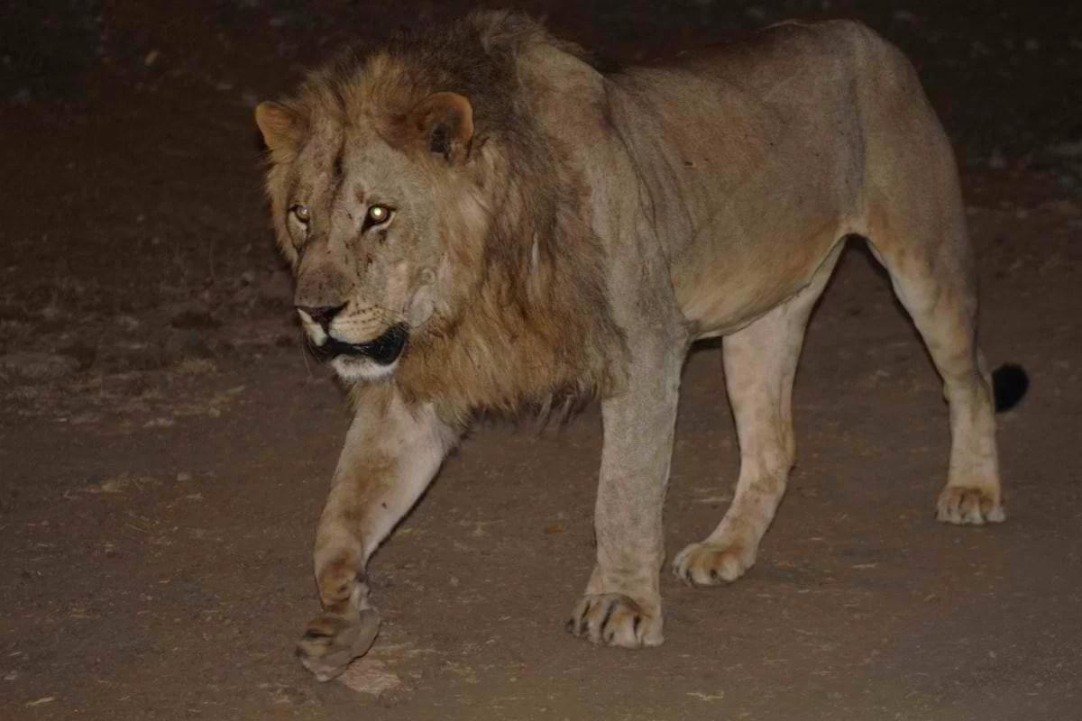 Mashatu_Lions_Stan-van-Look-1