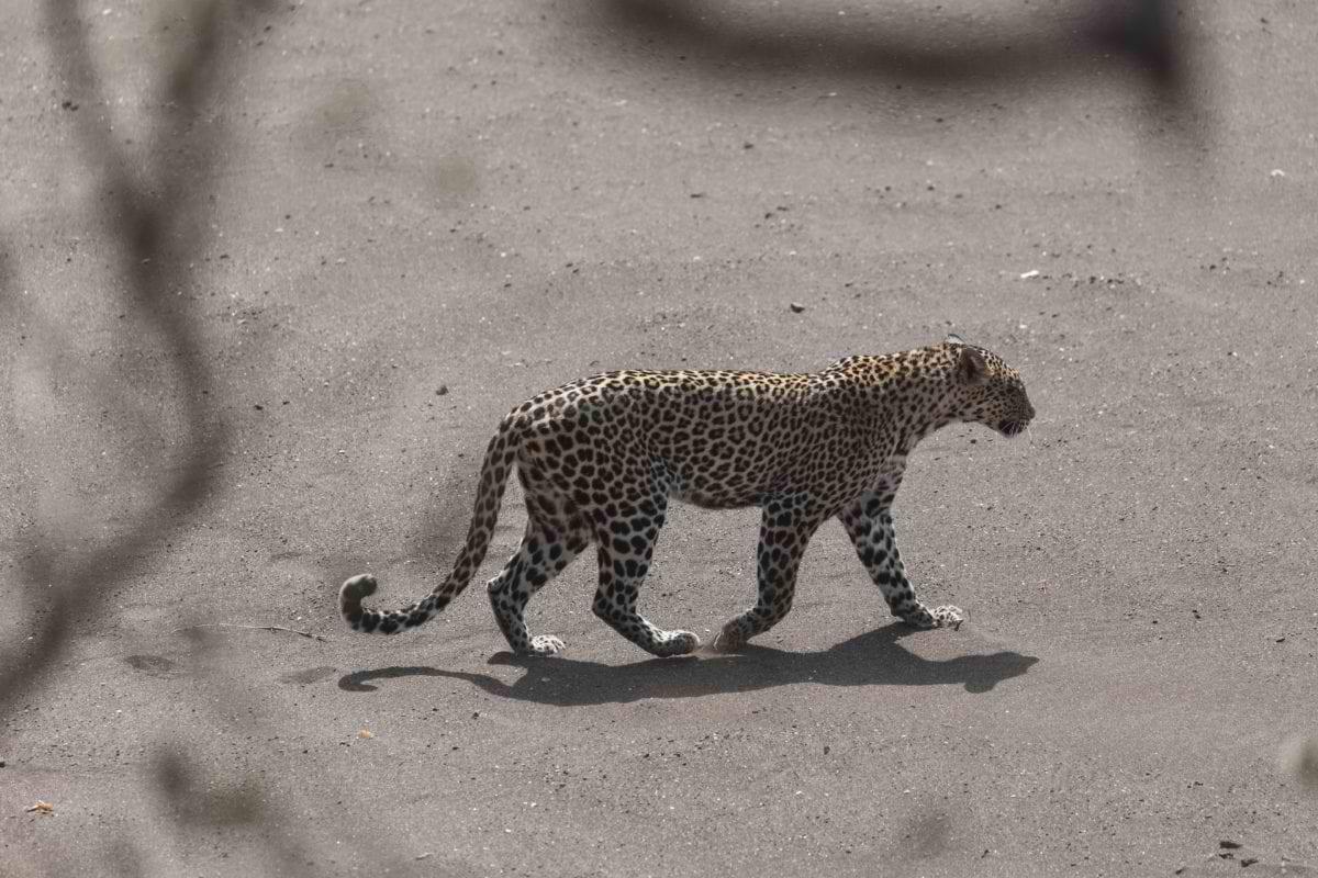 Mashatu_leopard-walking_Malini