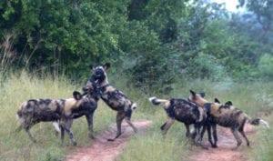 Wild-Dog-Nakavango-Rita-Steyn-1