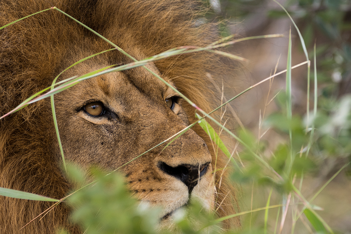 Karongwe Game Reserve, South Africa - Male Lion
