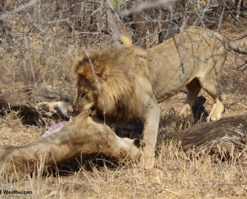 Male lion killed a lioness at pridelands
