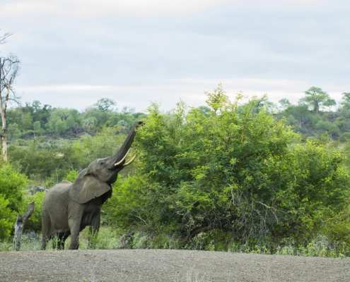 Elephant in Makuleke