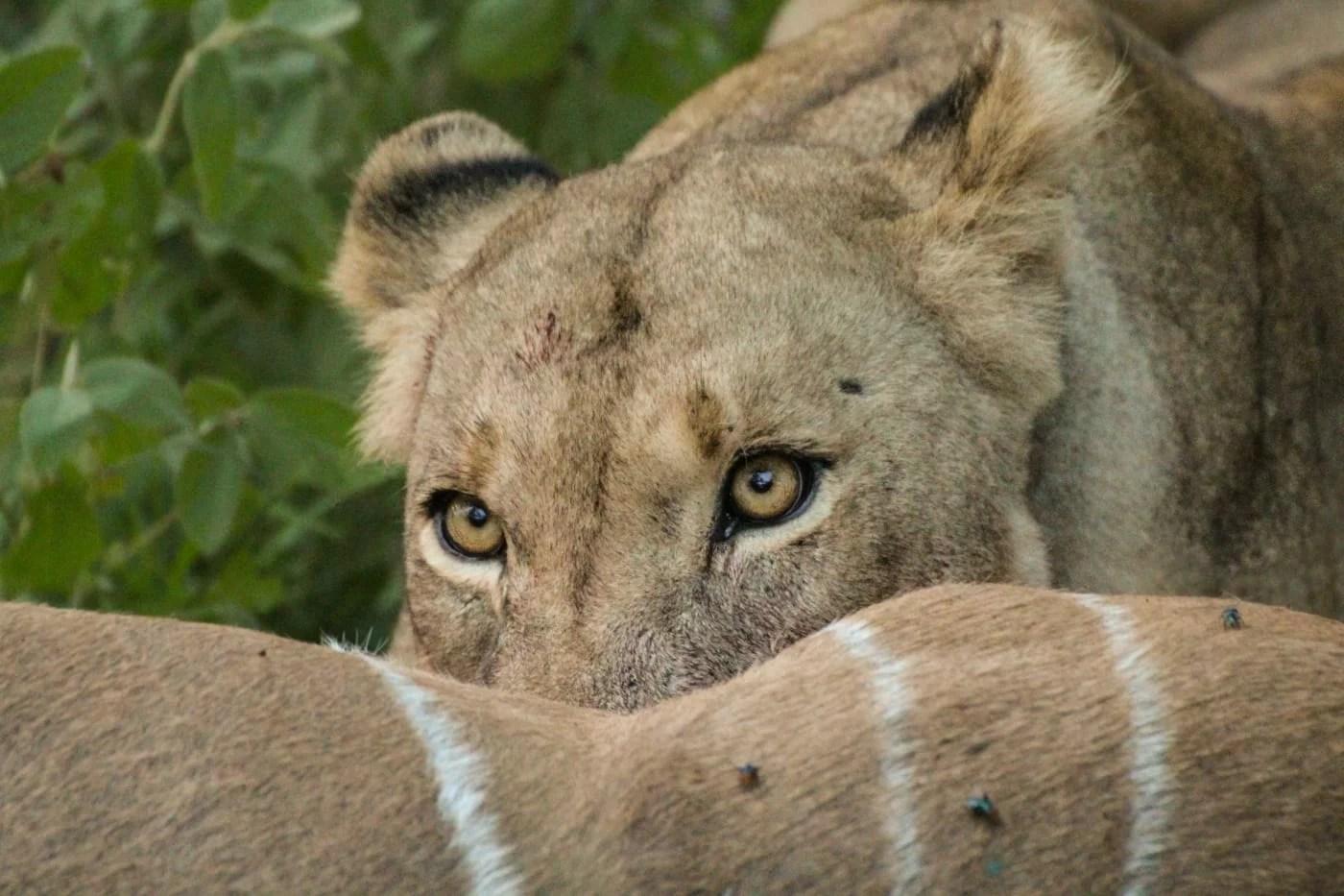 Lion feeding on kill