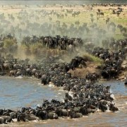 Wildebeest Migration - Chaos at river edge - Diane McLeish